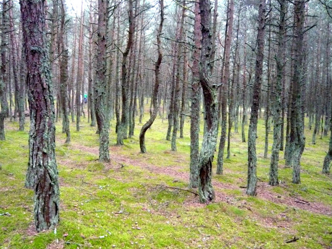 'Dancing Forest' Curonian Spit Kaliningrad Oblast